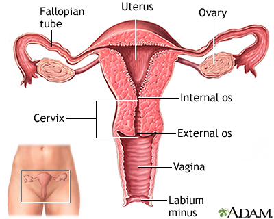 Cervix | UF Health, University of Florida Health