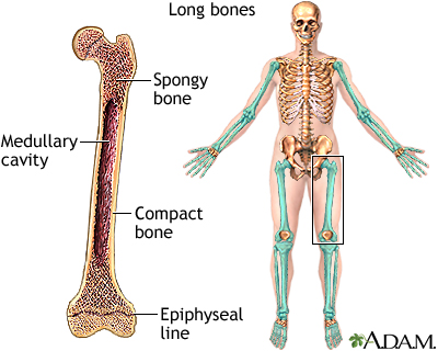 Long bones | UF Health, University of Florida Health