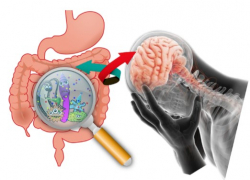 Two-way communication between gut bacteria and the brain may play a role in depression.