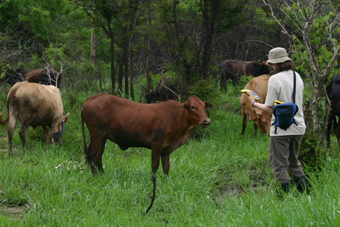 EPI postdoctoral fellow Dr. Juli Clennon obtaining GPS coordinates for breeding site of Anophales arabiensis in Zambia, with curious cattle; Dr. Clennon works with preeminence faculty member Dr. Greg Glass in the College of Liberal Arts and Sciences.