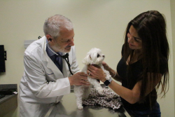 Dr. Simon Swift examines Zoey a 12-year-old maltese, while her owner, Janette Jordan of Oviedo, looks on. Zoey received a mitral valve repair procedure from Dr. Masami Uechi approximately one year ago in France and has come to UF subsequently for check-ups. (Photo by Sarah Carey)