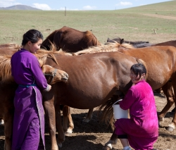 Women milk horses in Tuv Aimag, Mongolia in August 2011. Photo by Dr. Gregory Gray.