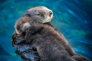Wild southern sea otter mother and newborn pup sheltering in the Great Tide Pool at the Monterey Bay Aquarium. (Copyright Monterey Bay Aquarium, Photo by Tyson V. Rininger)
